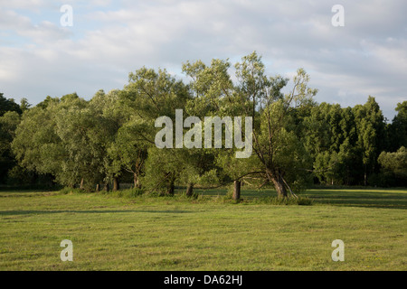 Willow trees in Poland, Masovia, Europe, Mazowsze, polish, masovian landscape - Stock Photo