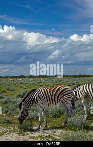Burchell's zebras ( Equus quagga burchellii ), Etosha National Park, Namibia, Africa - Stock Photo