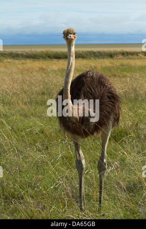 Ostrich (Struthio camelus), Etosha National Park, Namibia, Africa - Stock Photo