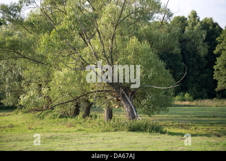 Willow trees in Poland, Masovia, Europe, Mazowsze, polish, masovian landscape - Stock Photo