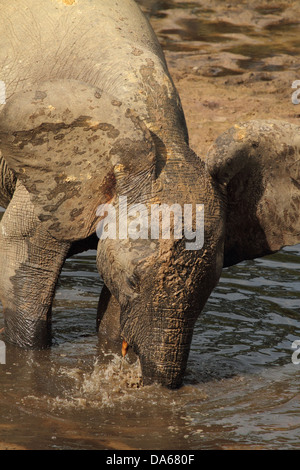 Loxodonta cyclotis, Loxodonta africana cyclotis, animal, mammal, African Forest Elephant, Forest Elephant, elephant, - Stock Photo