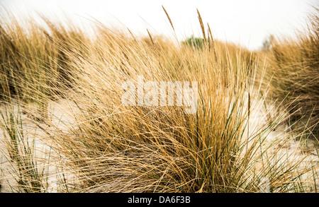 Beach grass, Baltic Sea coast