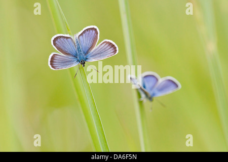 Common Blue (Polyommatus icarus) two butterflies perched on blades of grass - Stock Photo