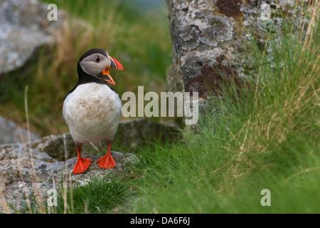 Atlantic Puffin or Common Puffin (Fratercula arctica) - Stock Photo