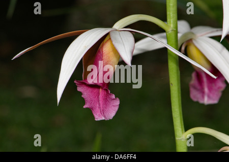 Orchidaceae, Orchidee, plant, plants, tropical, Farbe, flower, petal, nature, botany, Costa Rica, pink - Stock Photo