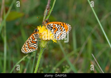 Spotted Fritillary, Melitaea didyma, butterfly, butterflies, insect, insects, protected, indigenous, orange, white, - Stock Photo
