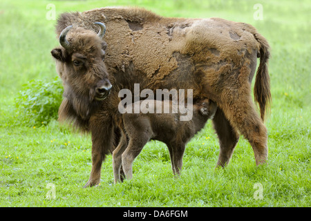 Wisent or European Bison (Bison bonasus), cow suckling a calf, captive - Stock Photo