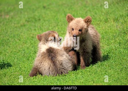 Brown Bear (Ursus arctos), two cubs playing, captive - Stock Photo