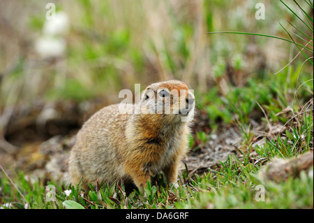 Arctic Ground Squirrel (Spermophilus parryii) foraging for food in the Arctic tundra - Stock Photo