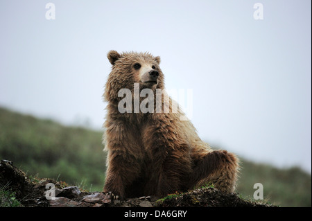 Grizzly Bear (Ursus arctos horribilis) in the Arctic tundra - Stock Photo