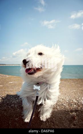 A West Highland Terrier dog enjoying the coastal sea air - Stock Photo