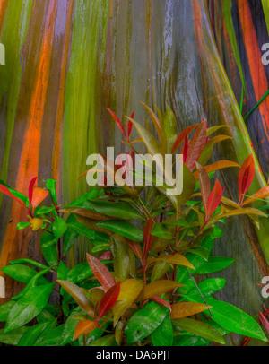 USA, United States, America, Hawaii, Maui, Rainbow, bark, Eucalyptus, Hawaii, Tree, rainbow bark - Stock Photo