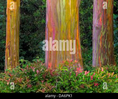 USA, United States, America, Hawaii, Maui, Forest, Bark, rainbow bark, Eucalyptus, tree - Stock Photo