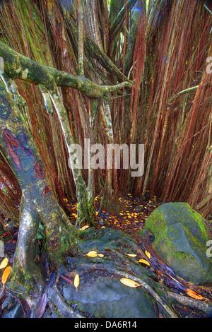 USA, United States, America, Hawaii, Big Island, Banyon Tree, Roots, Bark, tree