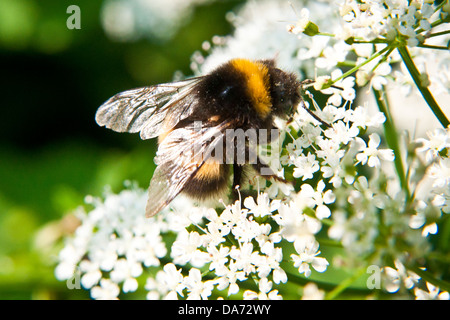 A macro shot of a bee extracting pollen from a  flower in summer - Stock Photo