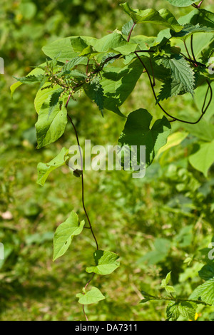 Japanese Knotweed in an english garden in summer strangling other plants, gardening - Stock Photo