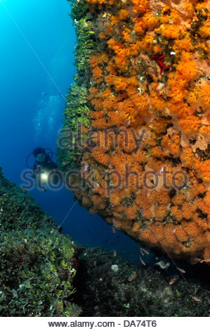 underwater wall encrusted by orange madreporas astroides calycularis - Stock Photo