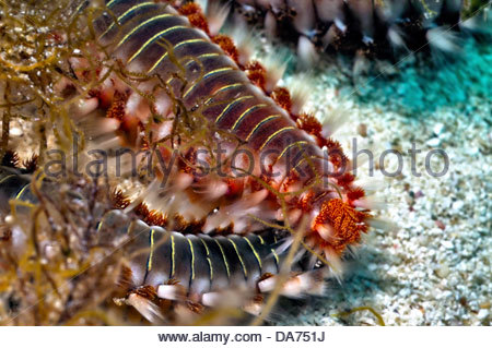 bearded fireworm,hermodice carunculata - Stock Photo