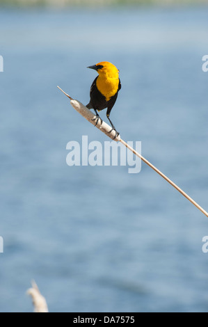 Yellow Headed Blackbird - Stock Photo