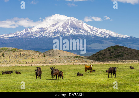 Weed California United States.  View of Mt Shasta showing pasture fields and a herd of cattle - Stock Photo