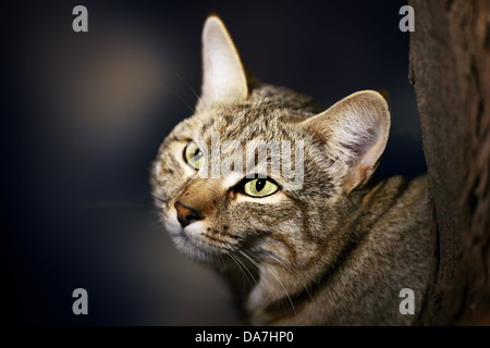 African Wild Cat - Felis silvestris lybica - Kalahari desert - South Africa - Stock Photo