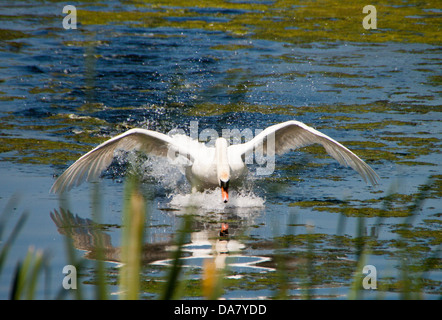 Mute Swan - Cygnus olor. Moving to another part of the lake, without taking off. - Stock Photo