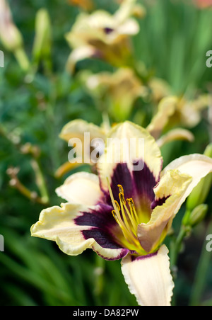 Closeup of a daylily flower in garden - selective focus - Stock Photo