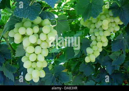 White Grape on a vine - Stock Photo