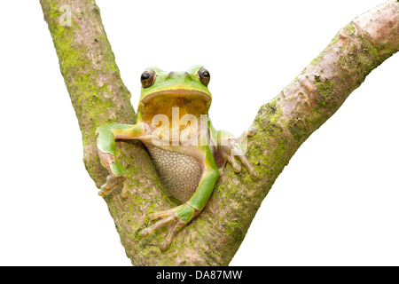 European tree frog / Hyla arborea - Stock Photo