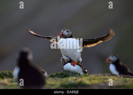 Displaying and mating pair of puffins in warm evening backlight with sunlight shining through the wings - Stock Photo