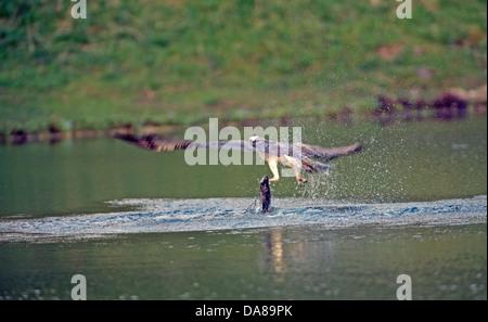 Pandion haliaetus, Osprey Fishing in Aviemore Scottish Highlands - Stock Photo