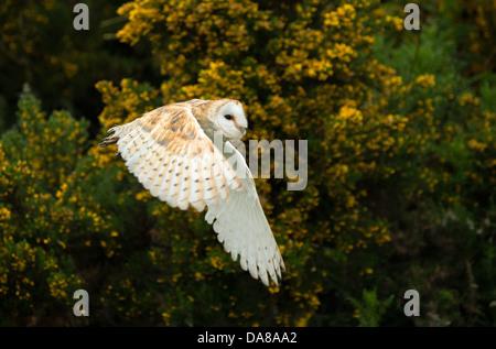 Flying Barn Owl (tylo alba) - Stock Photo