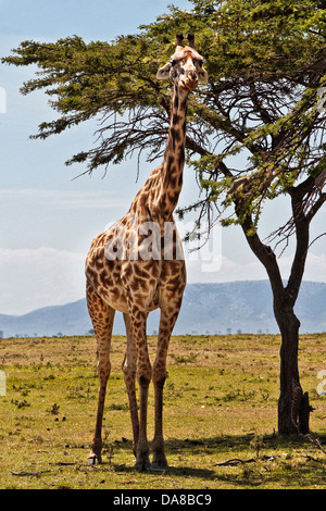Giraffes watching closely next to her acacia tree in the masai mara, Kenya - Stock Photo