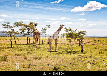 Giraffes Browsing from their favorite trees in the Masai Mara, Kenya - Stock Photo