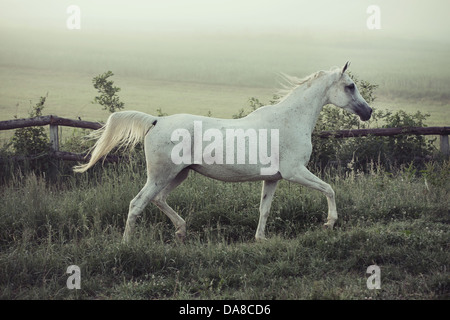 Spotted white horse in running pose - Stock Photo