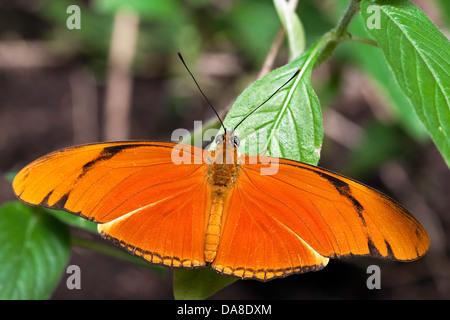 Julia Butterfly (Dryas iulia) aka: Julia Heliconian, The Flame, or Flambeau, Costa Rica - Stock Photo