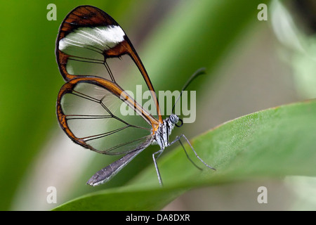 Glasswinged butterfly (Greta oto), Costa Rica - Stock Photo