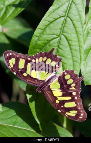 Malachite Butterfly (Siproeta stelenes) - Stock Photo