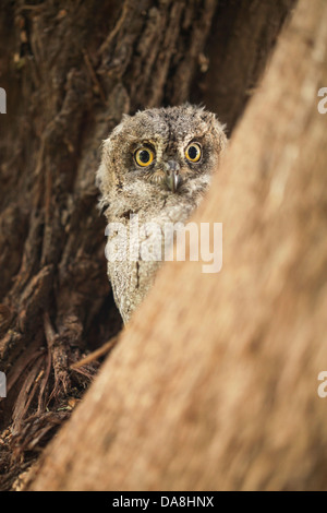 Juvenile European Scops Owl (Otus scops), Also Eurasian Scops Owl Israel, Spring - Stock Photo
