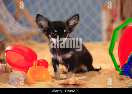 Chihuahua, longhaired, puppy, black-cream-white |Chihuahua, langhaarig, Welpe, schwarz-creme-weiss - Stock Photo