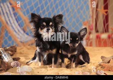Chihuahua, longhaired, with puppy, black-cream-white |Chihuahua, langhaarig, Ruede mit Welpe, schwarz-creme-weiss - Stock Photo