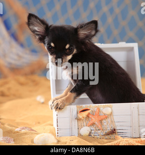 Chihuahua, longhaired, puppy, black-cream-white  Chihuahua, langhaarig, Welpe, schwarz-creme-weiss - Stock Photo