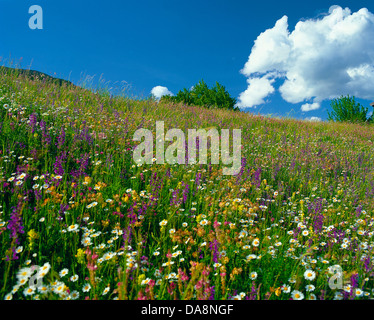 Austria, Europe, Tyrol, Arlberg, Saint Anton, St. Anton am Arlberg, meadow, mountain pasture, flowers, flower meadow, - Stock Photo