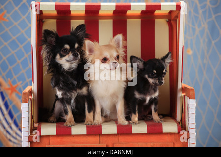 Chihuahuas, longhaired, with puppy, isabell and black-cream-white - Stock Photo