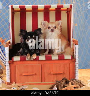 Chihuahuas, longhaired, isabell and black-cream-white |Chihuahuas, langhaarig, Rueden, schwarz-creme-weiss und isabell - Stock Photo
