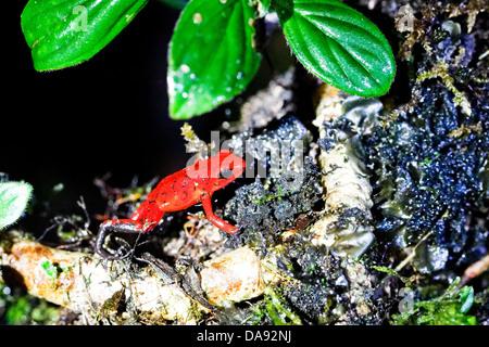 Strawberry Poison Dart Frog aka: Blue-Jeans Frog (Oophaga pumilio or Dendrobates pumilio), Costa Rica - Stock Photo