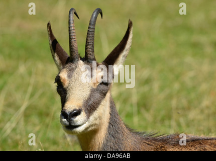 Monochrome portrait of a Chamois, a european mountain antelope, hunted for the skin which was used for chammy cleaning - Stock Photo