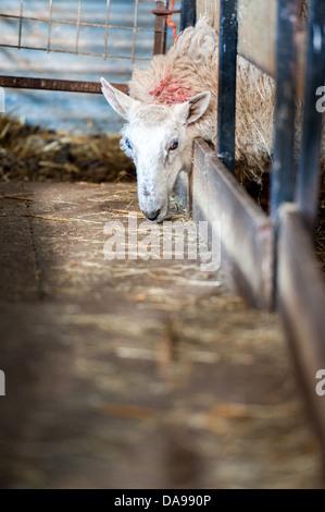 sheep feeding in a barn during lambing season - Stock Photo