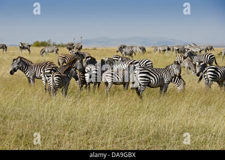 Burchell's zebras and female Masai ostriches, Masai Mara, Kenya - Stock Photo