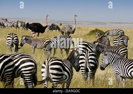 Burchell's zebras and Masai ostriches, Masai Mara, Kenya - Stock Photo